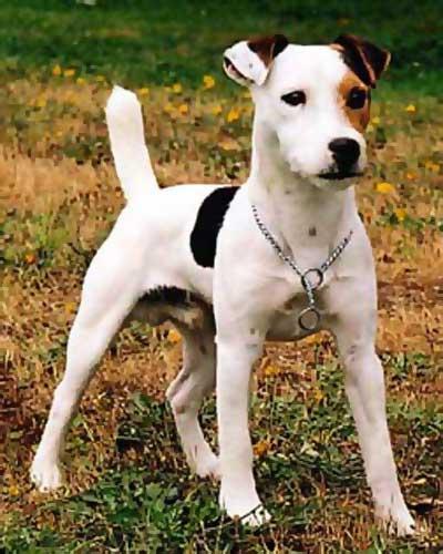 Jack russell terrier pelo corto negro
